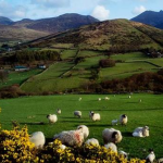 ireland_sheep_field