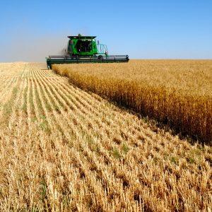 wheat-field-65